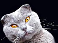 猫咪疼痛的表现(二)