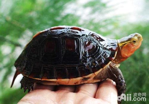 光照温度对黄缘龟的影响