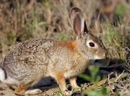 野兔的饲养要点