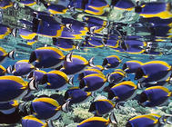 七彩神仙鱼肚子大的原因及治疗方法