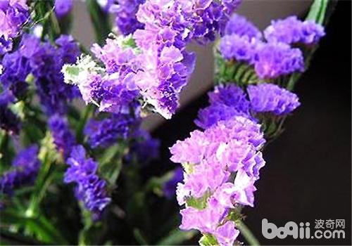 勿忘我的栽种方法及养护管理 观花植物栽培-波奇网