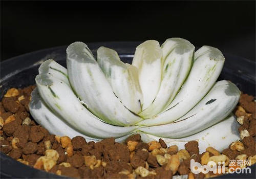 玉扇的栽培与养护管理
