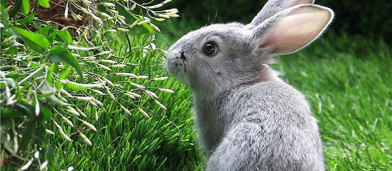 兔子也要定期清理耳道