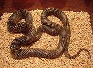 常见王蛇的一些饲养要点