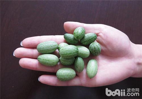 阳台栽培拇指西瓜的注意事项