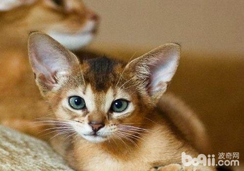 """它的可爱还在于它保持着幼猫般的好奇心,它""""爱幼"""",可以年幼的小猫玩"""