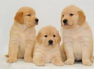 为什么幼犬更容易得细小