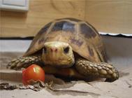 陆龟每天应该吃多少食物?