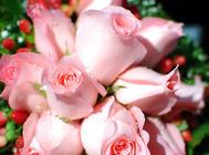 玫瑰的栽培管理方法