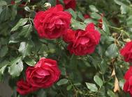玫瑰花常见的繁殖方法