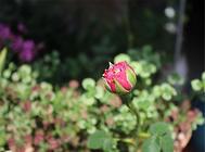 日本玛丽玫瑰的日常养护