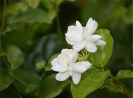 茉莉花的扦插繁殖方法