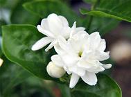 茉莉花盆栽的养护方法
