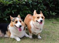犬发情时排卵有何特点