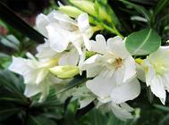 栀子花的品种简介