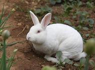 如何提高獭兔的被毛质量