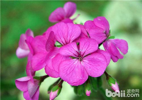 天竺葵播种及扦插繁殖的方法