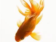 引起金鱼死亡的疾病