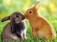 菌群对兔子的肠道有何作用
