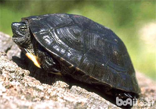 如何预防黑颈乌龟冬眠