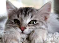 折耳猫的遗传骨骼病