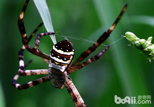 什么是蜘蛛自切