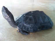 孵化黑頸烏龜的注意事項