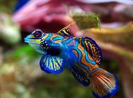 孔雀鱼母鱼为什么会吃小鱼?