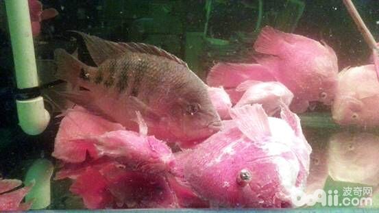 观赏鱼小瓜虫病的诊断与治疗