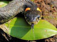 如何给蛇喂鼠