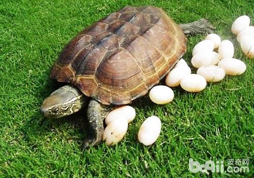 关于乌龟的产蛋问题
