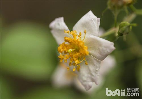 金樱子的品种简介