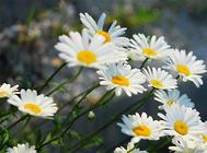 不同生长阶段雏菊的养护要点