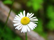 雏菊的繁殖方法介绍