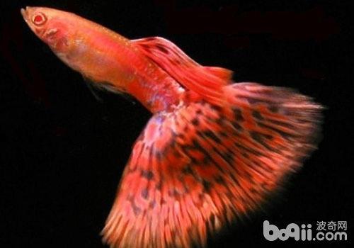 孔雀鱼怀孕期的护理