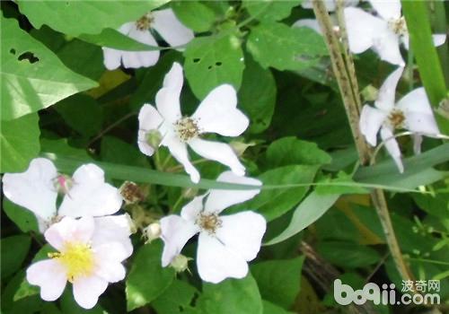 金樱子的繁殖介绍