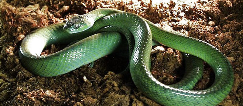 二,鳞片的作用 鳞片在爬行动物全身均有所覆盖,它们能够保护身体减少