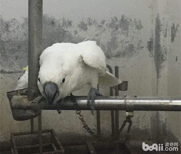 葵花凤头鹦鹉骨折的治疗