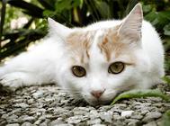 猫杯状病毒的诊断与治疗