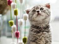 盆景猫是真是假?