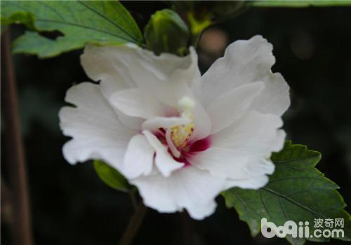 木槿花的播种及扦插繁殖