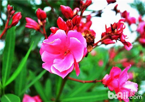 夹竹桃为被子植物门双子叶植物纲捩花目夹竹桃科