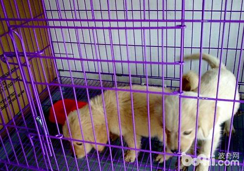 狗狗可以笼养,但不要总是待在笼内