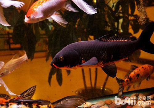 一些常用药物在观赏鱼饲养中的用药时机及给药途径