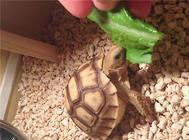 蛭石孵化龜卵的注意事項