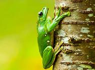 饲养大泛树蛙要注意哪些问题