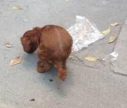 一例泰迪犬便秘的处置办法-轻博客