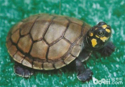乌龟进入冬眠阶段,要注意些什么?
