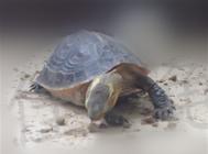 一例黄缘闭壳龟肉甲分离的治疗报告