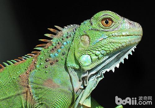 饲养绿鬣蜥需注意什么